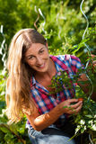 Gardening in summer - woman harvesting tomatoes Stock Images