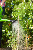 Gardening in summer - woman watering plants. Gardening in summer - woman (only torso) watering plants with water pot Stock Image