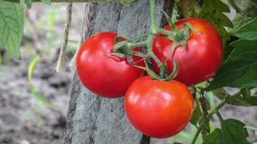 Gardening tomato. Ripe red tomatoes hanging in the garden. Fresh ripe red tomatoes and some tomatoes that are not ripe yet hanging on the vine of a tomato plant Royalty Free Stock Photography
