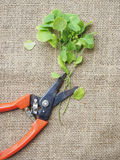Gardening tool secateurs and plant Stock Images