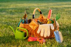 Gardening tools in basket and watering can on grass. Freshly harvested tomatoes, organic food concept. Royalty Free Stock Image