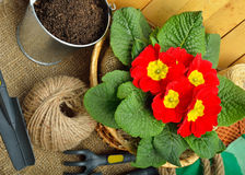 Gardening tools and beautiful red primula in flowerpot Stock Photography