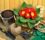 Gardening tools and beautiful red primula in flowerpot Royalty Free Stock Photography