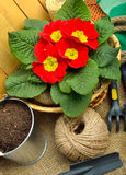 Gardening tools and beautiful red primula in flowerpot Royalty Free Stock Photos