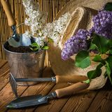 Gardening tools and a branch of a blossoming white lilac royalty free stock image