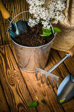 Gardening tools and a branch of a blossoming white lilac Royalty Free Stock Photography