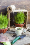 Gardening tools, greens in pots on dark wooden table Royalty Free Stock Photos