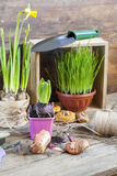 Gardening tools, greens in pots, tubers (bulbs) gladiolus, hyacinth and yellow narcissus on dark wooden table Royalty Free Stock Images