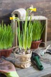 Gardening tools, greens in pots, tubers (bulbs) gladiolus and yellow narcissus on dark wooden table Royalty Free Stock Image