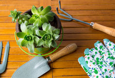 Gardening tools and houseleek plant on a table Royalty Free Stock Photos