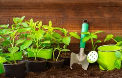 Gardening tools, lavender,rosmary, strawberry plants and seedlings on soil. Gardening tools,lavender, rosmary, strawberry plants and seedlings on soil farming stock images