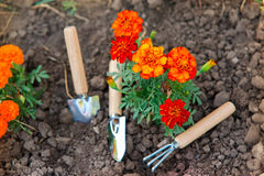 Gardening tools. Next to a flower plant Stock Image