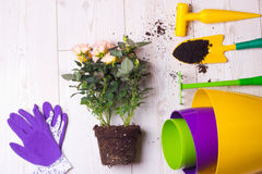 Gardening tools and plant on the floor. Top view of potted roses, plastic colorful flower pots and gardening tools on bright wooden floor. Planting concept Royalty Free Stock Photography