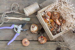 Gardening tools, tubers (bulbs) gladiolus on dark wooden table Stock Photos