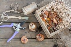Gardening tools, tubers (bulbs) gladiolus on dark wooden table Stock Photos