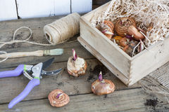 Gardening tools, tubers (bulbs) gladiolus on dark wooden table Royalty Free Stock Images