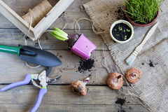 Gardening tools, tubers (bulbs) gladiolus, hyacinth and herbs on dark wooden table Royalty Free Stock Photography