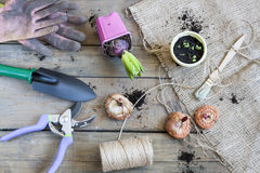 Gardening tools, tubers (bulbs) gladiolus, hyacinth and herbs on dark wooden table Stock Photo