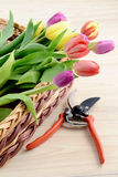 Gardening. tulips and garden shear on wooden background Stock Photos