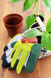 Gardening utensils with seedlings of paprika and zucchini Royalty Free Stock Photo