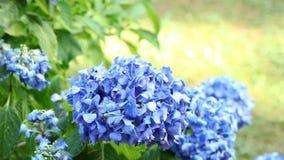 Gardening - watering hortensia flowers stock video