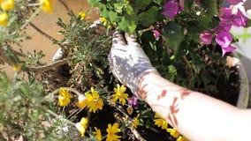 Gardening. Woman gardening the flowers at spring stock video