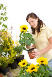 Gardening - woman holding flower pot. Smiling woman holding flower pot with sunflower on white background royalty free stock images