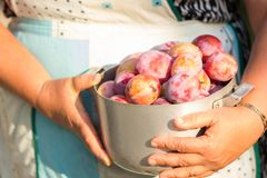 Gardening. Woman with organic plums garden. Harvest. Young farmer harvesting plum. plum in a vintage bowl Stock Image