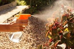 Gardening. The woman sprinkles with a sprinkler a plant called s. The woman sprinkles with a sprinkler a plant called spurflowers Plektrantus Stock Photo