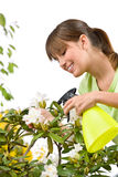 Gardening - woman sprinkling water on Rhododendron Stock Image