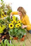 Gardening - woman sprinkling water to sunflowers Royalty Free Stock Images