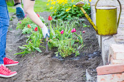 Gardening. Womans hands gardening red tulips Stock Photos