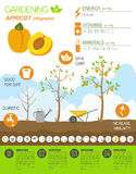 Gardening work, farming infographic. Apricot. Graphic template. Royalty Free Stock Photos