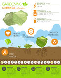 Gardening work, farming infographic. Cabbage. Graphic template. Stock Photo