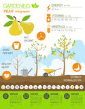 Gardening work, farming infographic. Pear. Graphic template. Fla Stock Photography