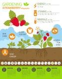 Gardening work, farming infographic. Strawberry. Graphic templat Stock Photo