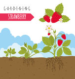 Gardening work, farming infographic. Strawberry. Graphic templat Royalty Free Stock Image