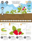 Gardening work, farming infographic. Strawberry. Graphic templat Royalty Free Stock Images