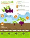 Gardening work, farming infographic. Sugar beet. Graphic templat Royalty Free Stock Images