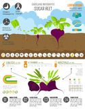Gardening work, farming infographic. Sugarbeet. Graphic template Royalty Free Stock Photography