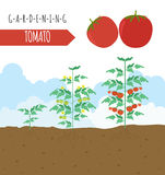 Gardening work, farming infographic. Tomato. Graphic template. F Royalty Free Stock Photo