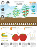 Gardening work, farming infographic. Tomato. Graphic template. F Royalty Free Stock Image