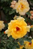 Beautiful flowers of a yellow rose at a garden. Gardening - yellow rose flowers at a park Royalty Free Stock Photography