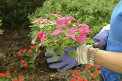 Gardening5. A gardener uses a small spade to hold the root ball of an impatien flower just before planting Stock Image