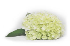 Gardenlife八仙花属 库存照片