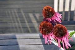 Gardenlife Coneflower Fotografia de Stock