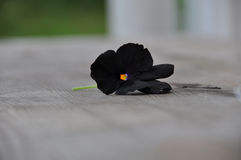 Gardenlife Pence. Black beautiful single flower. Could illustrate sorrow, sad, alone, abandoned, lonliness. This Pence is called Black Molly around here in my Royalty Free Stock Images
