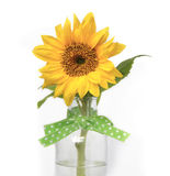 Gardenlife Sunflower. Beautiful Sunflower in a vase. Green ribbon decorated with polkadots. A yellow happy flower for someone special Stock Image