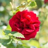 Gardenrose 03 Stockfotos