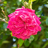 Gardenrose 04 Obrazy Stock